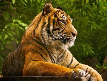Tiger at Ranthambore